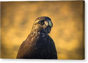 Hawk Stare Canvas Print by Marc Crumpler