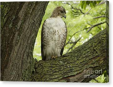 Hawk Stares Canvas Print