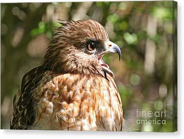 Hawk With An Attitude Canvas Print