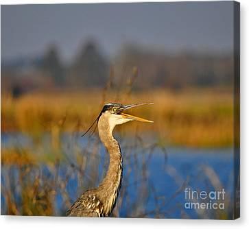 Hawking Heron Canvas Print by Al Powell Photography USA