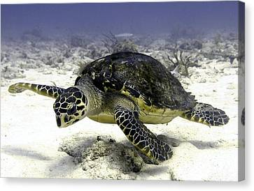 Hawksbill Caribbean Sea Turtle Canvas Print