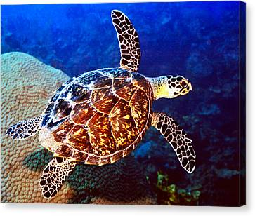 Hawksbill Canvas Print by Jean Noren