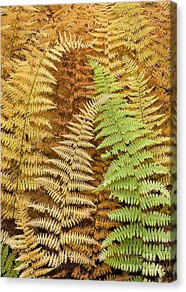 Hay-scented Ferns Canvas Print by Alan L Graham