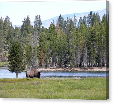 Hayden Valley Bison Canvas Print