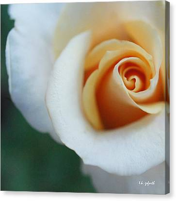 Hazy Rose Squared Canvas Print by TK Goforth
