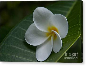He Aloha No O Waianapanapa - White Tropical Plumeria - Maui Hawaii Canvas Print by Sharon Mau