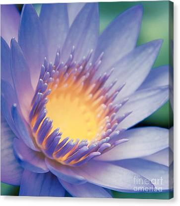 Panama Pacific Water Lily Canvas Print - He Makana Nau Ke Aloha - Nymphaea Stellata - Star Lotus by Sharon Mau