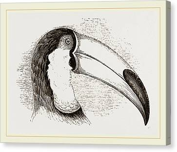 Head And Tongue Of Toucan Canvas Print by Litz Collection