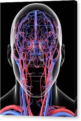Human Head Canvas Print - Head Blood Vessels by Sciepro