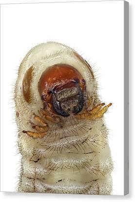 Head Of A Beetle Larva Canvas Print