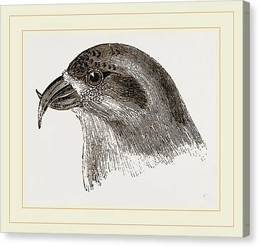 Crossbill Canvas Print - Head Of Crossbill by Litz Collection
