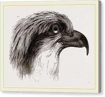Osprey Canvas Print - Head  Of Osprey by Litz Collection