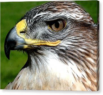 Head Portrait Of A Eagle Canvas Print