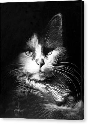 Head Shot Of Black & White Cat Canvas Print by Underwood Archives