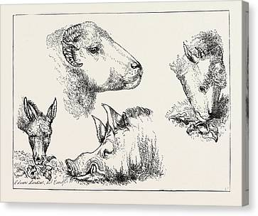 Heads Of Boar And Sheep Canvas Print