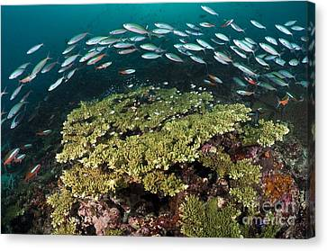 Caesionidae Canvas Print - Healthy Hard Corals Surrounded by Matthew Oldfield