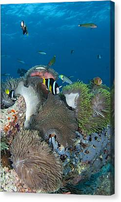 Healthy Reef Scene With Anemonefish Canvas Print by Science Photo Library