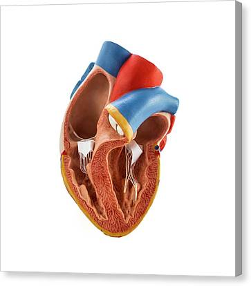 Heart Anatomy Model Canvas Print by Science Photo Library