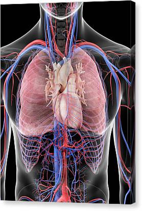 Heart And Lungs Canvas Print by Sciepro