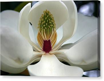 Canvas Print featuring the photograph Heart Of The Magnolia by Andy Lawless