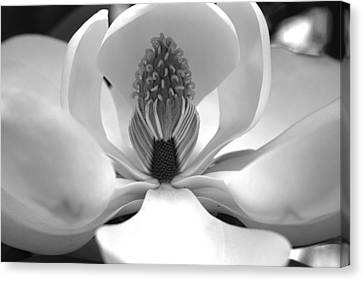 Heart Of The Magnolia Black And White Canvas Print