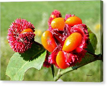 Hearts-a-bursting Seed Pods Canvas Print by Duane McCullough