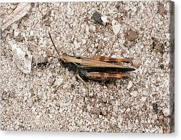 Heath Grasshopper Canvas Print