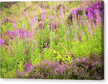 Heather And Rose Bay Willowherb Canvas Print by Ashley Cooper
