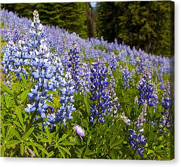 Heavenly Blue Lupins Canvas Print by Theresa Tahara