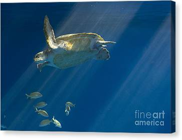 Heavenly Turtle Canvas Print