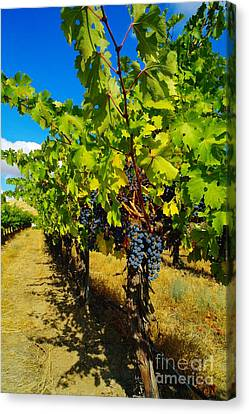 Vintner Canvas Print - Heavy On The Vine At The High Tower Winery  by Jeff Swan