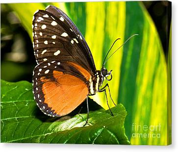 Hecale Longwing Butterfly Canvas Print by Millard H. Sharp