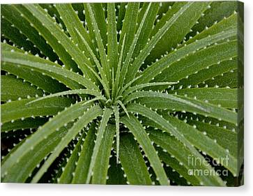 Canvas Print featuring the photograph Hechtia Argentea by Scott Lyons