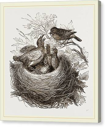 Hedge-sparrows And Cuckoo Canvas Print by Litz Collection