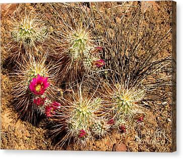 Fuschia Canvas Print - Hedgehog Cacti by Marilyn Smith
