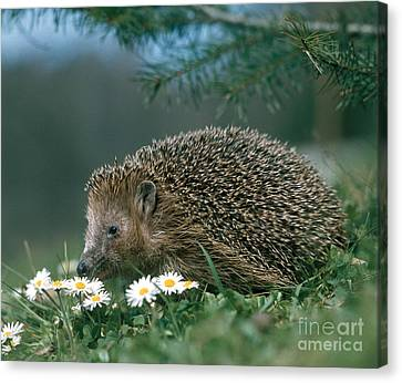 Hedgehog With Flowers Canvas Print by Hans Reinhard