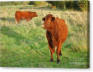 Heifer Bulls Canvas Print by Olivier Le Queinec