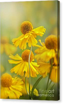 Helenium Butter Pat Canvas Print by Jacky Parker