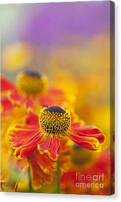 Helenium Waltraut Flowers Canvas Print by Tim Gainey
