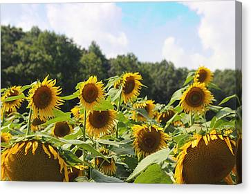 Helianthus Patch 4 Canvas Print by Cathy Lindsey