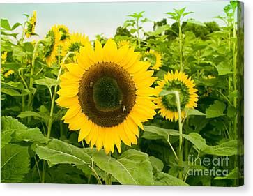 The Nature Center Canvas Print - Helianthus - Sunflower Kula Maui Hawaii by Sharon Mau