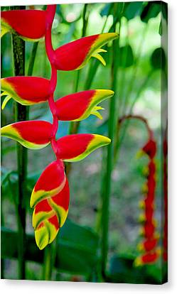Heliconia--flower In Chiapas Canvas Print by Matthew Bamberg