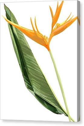 Heliconia Flower Canvas Print by Plum Ovelgonne