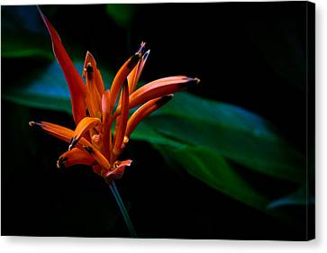 Canvas Print - Heliconia Psittacorum Andromeda by Donald Chen