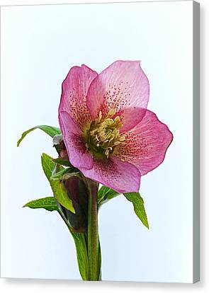 Canvas Print featuring the photograph Hellebore Hybridus by Paul Gulliver