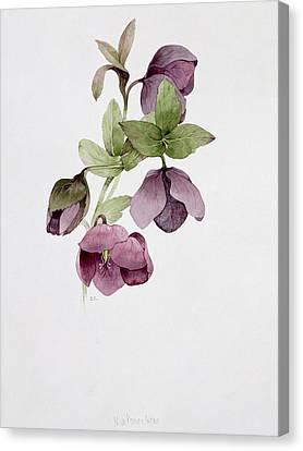 21st Century Canvas Print - Helleborus Atrorubens by Sarah Creswell