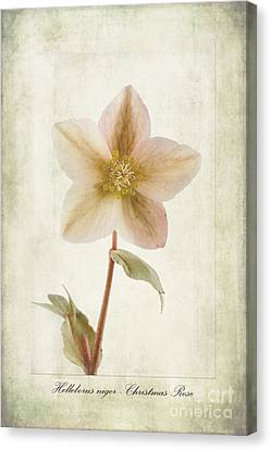 Helleborus Niger Canvas Print by John Edwards