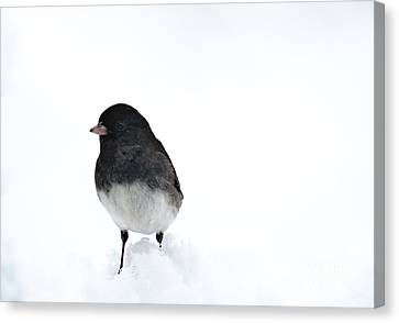 Hello Junco Canvas Print by Cheryl Baxter