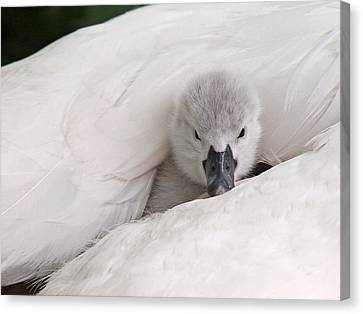 Nestled With Love Canvas Print - Hello World by Gill Billington
