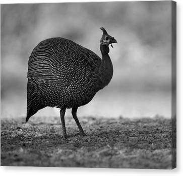 Helmeted Guineafowl Canvas Print